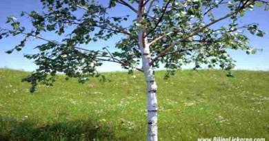 breza Biljna Ljekarna