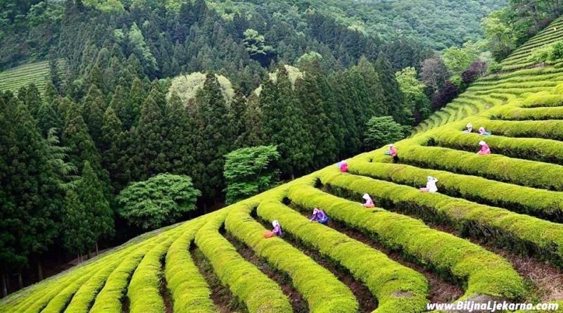Biljna Ljekarna tea camellia Zeleni caj Kamelija