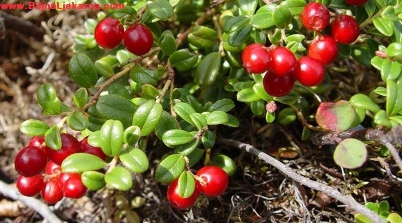 BiljnaLjekarna medvedje-grozdje
